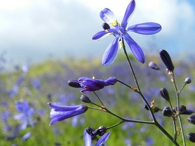 Flores silvestres Chilenas