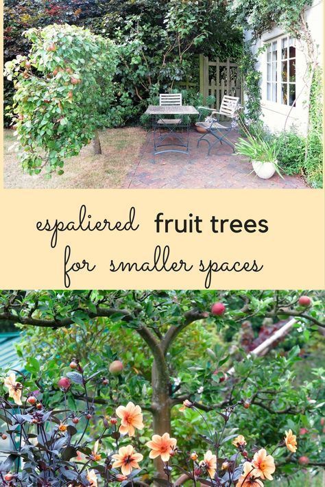 Article: Espaliered fruit trees work brilliantly in small spaces. They can cover walls, create screens and give you lots of fruit while using very little ground.