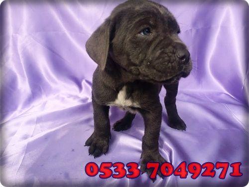 Cane corsa yavruları için 0533 704 9271 #canecorsa #canecorsablue #blue #dog #doglover #instagram #like #puppy #pupies #anime #cat #love #turkey #istanbul #home #cute #sky #facebook
