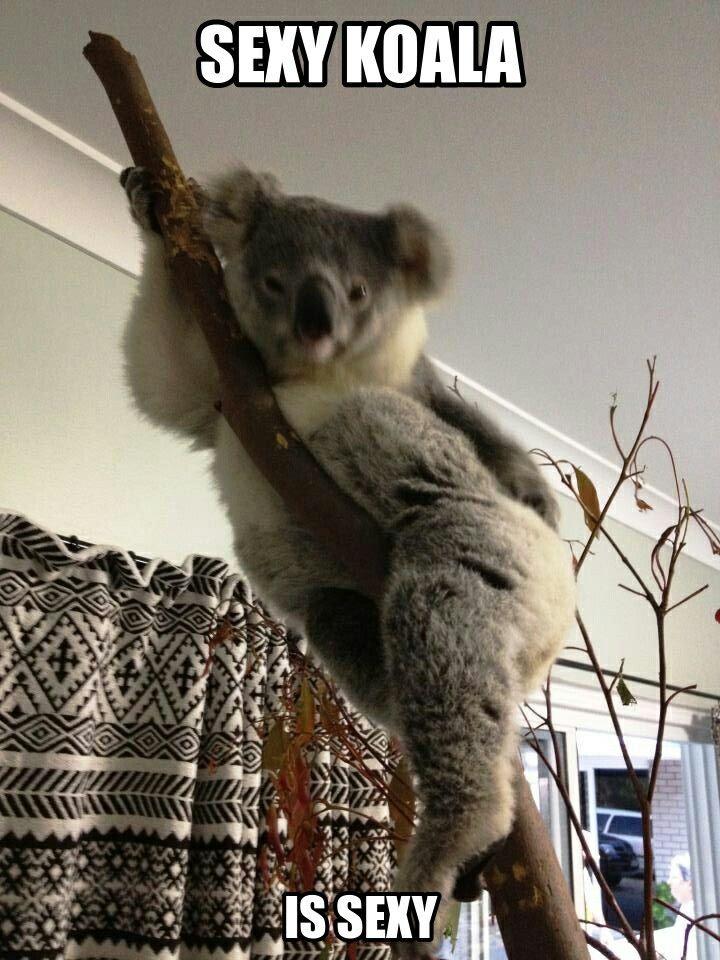 Bahahaha | Funny koala, Funny animal memes, Koala meme  Funny Koala Memes