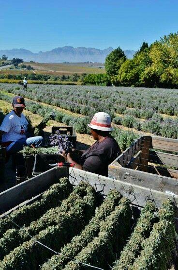 Lavender farming on wine estate in Stellenbosch. #lavender #wineestate #stellenbosch