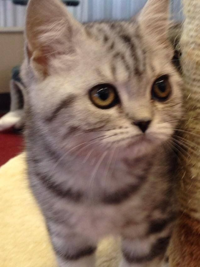 British Shorthair-Cats of the Ozarks