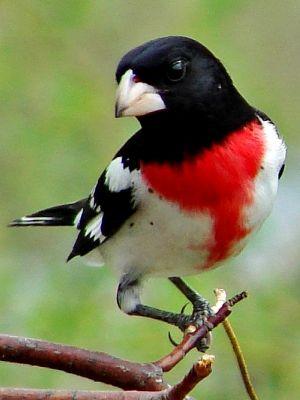 Pássaro Grosbeak de peito rosa
