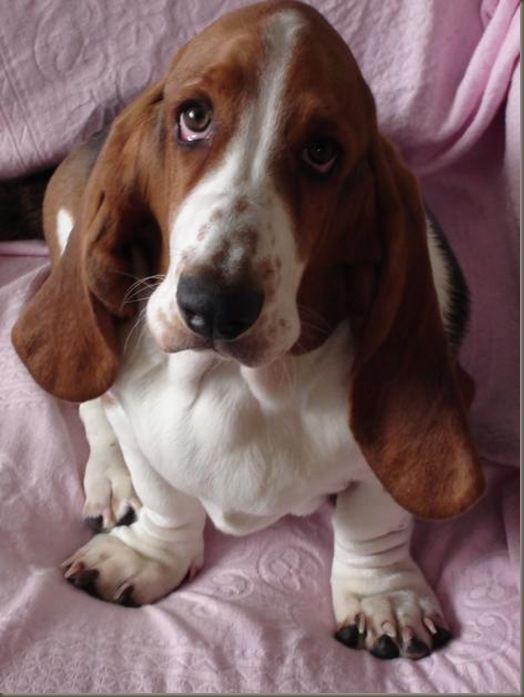 50 Most Popular Basset Hound Dog Names