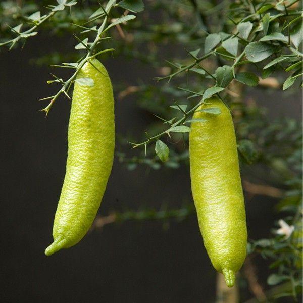 Australian Finger Lime Citrus Australasica I Got One Of