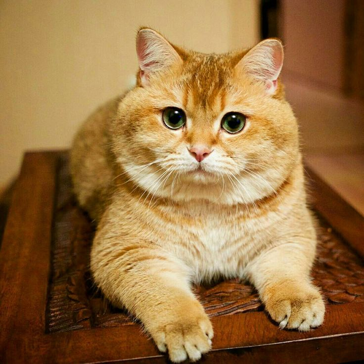 Best Cute Hosico Images On Pinterest Cats Instagram And Kittens - Hosico the cat is pretty much the real life puss in boots