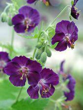 Geranium phaeum Raven juurakko 2 kpl/pkt