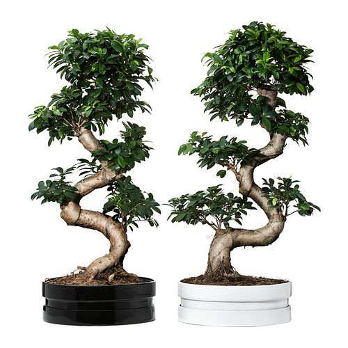 FICUS MICROCARPA GINSENG Potteplante med potte  - IKEA
