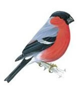 red breasted birds uk - Google Search