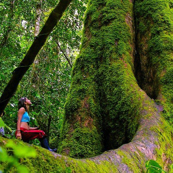 """Meet """"El Abuelo"""" a colossal 600 years old cedar protector of Pampa Hermosa's Sanctuary in #Chanchamayo. This  160' tall tree could be the biggest #cedar in Southamerica. Get to know it! // Conozcan a """"El Abuelo"""" un colosal cedro de 600 años guardián de Pampa Hermosa en Chanchamayo. Este árbol llega a medir 50 metros y se dice que podría ser el #cedro más grande de #Sudamérica. Anímate a visitarlo! www.destinosa1.com  #jungle #tree #selva #Peru #igersperu #southamerica #amazing #instatravel…"""