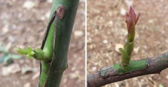 La technique du greffage est une pratique qui consiste à croiser deux plantes différentes afin de donner vie à une espèce végétale qui assure les meilleurs caractéristiques de l'un et de l'autre. Assez souvent, les variétés d'arbres fruitiers sauvages offrent des fruits plutôt pauvres du point de vue nutritionnel ou qui ne vivent pas longtemps …: