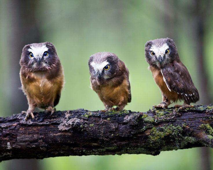 Cute Owl Photo, Owl Print, Nature Print, Fine Art Print, Bird Photography, Wall Art, Cute Owl, Tiny Owl, Adorable, The Three Amigos by GreyGhostNaturePhoto on Etsy https://www.etsy.com/listing/252929911/cute-owl-photo-owl-print-nature-print