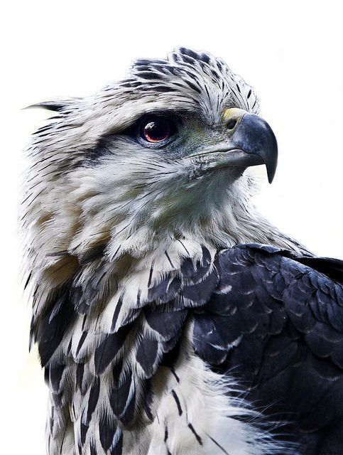 The Grey Eagle (Harpyhaliaetus coronatus) [Águia Cinzentais] An Eagle  which occurs from Argentina to Bolivia and generally in central Brazil . Although called an eagle, it is actually a large hawk.  It lurks high in treetop branches. Flies over footpaths and riparian forests.