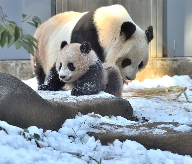 雪の上のジャイアントパンダのシャンシャ…:雪の上のシャンシャンとシンシン:時事ドットコム
