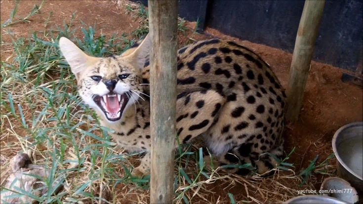 CatsClaw Cats, Serval cats, Youtube cats