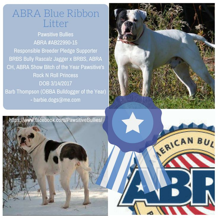 Pawsitive Bullies ABRA #AB22990-15 Responsible Breeder Pledge Supporter BRBS Bully Rascalz Jagger x BRBS, ABRA CH, ABRA Show Bitch of the Year Pawsitive's Rock N Roll Princess DOB 3/14/2017 Barb Thompson (OBBA Bulldogger of the Year) - barbie.dogs@me.com  ABRA Registered American Bulldog Puppies