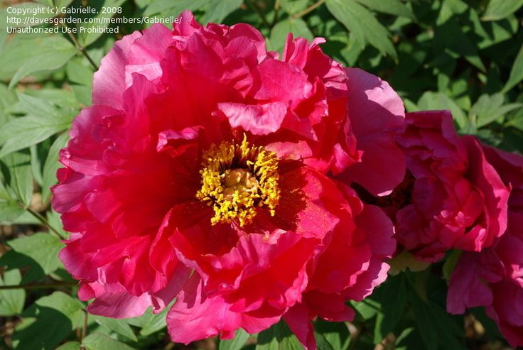 View picture of Heirloom Peony, Garden Peony 'Rosea Plena' (Paeonia officinalis) at Dave's Garden.  All pictures are contributed by our community.