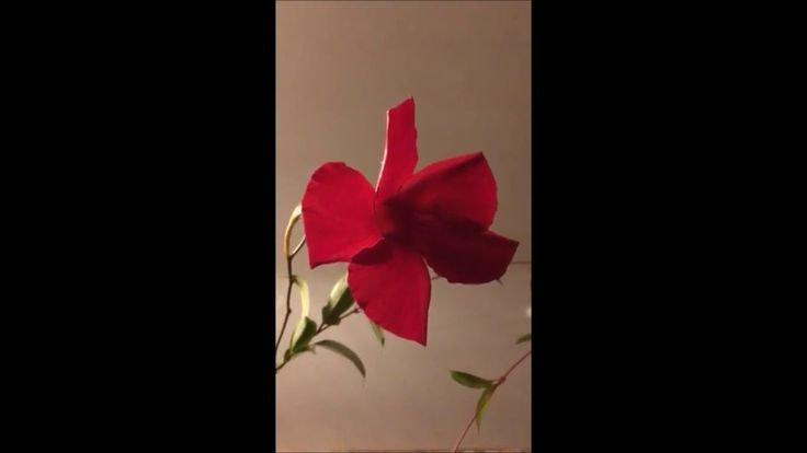 🌹I brought in my Mandavilla Red Sun Parasol vine plant for the winter 10...