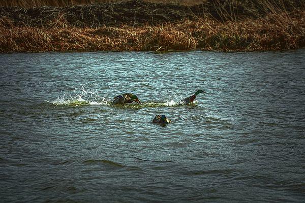 Male mallard ducks fighting in the water of city Enkoeping, Enkoping