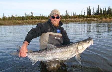 Next time in Alaska, I'd like to go after these - sheefish or inconnu - sometimes called the Tarpon of the North.