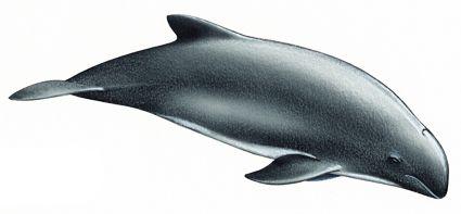 phocoena spinipinnis   se la arponea deliberadamente para alimento y cebo de tiburones. De todas formas, considera como una especie con datos deficientes para permitir una evaluación en cuanto su conservación.(Dr. Ricardo Bastida, Mamíferos Acuáticos Sudamérica-Antártida). Al tratarse de una especie poco conocida, y dado su rango de distribución, la UICN considera que no existe información adecuada sobre la especie para realizar una valoración directa o indirecta de su riesgo de extinción
