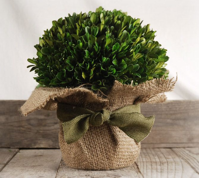Preserved boxwood arrangement in