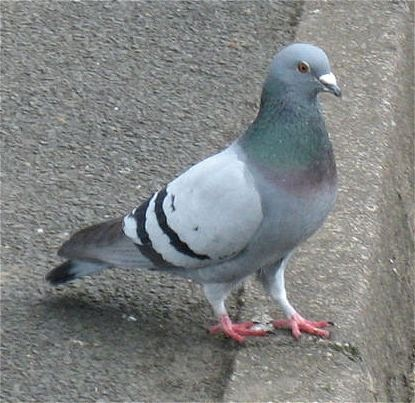 27. Feral pigeon. January 1 2012. | birdies | Pigeon ...