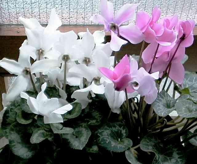 Alpenveilchen Pflegetippsalpenveilchen Pflegetipps Alpenveilchen Veilchen Orchideen
