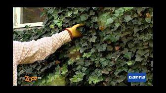 Lierre : plantation et entretien - YouTube