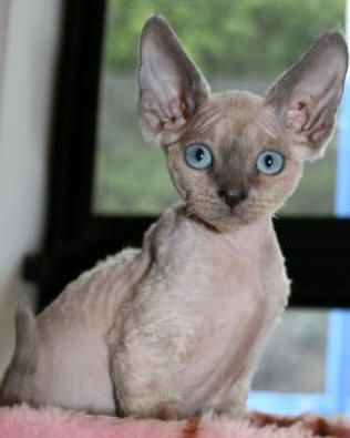 this looks like my kitty when she was a baby. she has since grown into her ears.