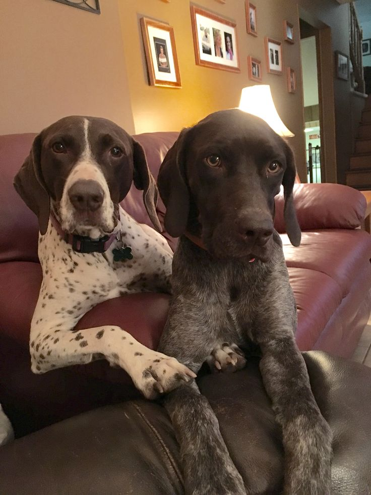 My GSP girls Polly Joy and Liberty Belle - July 2016