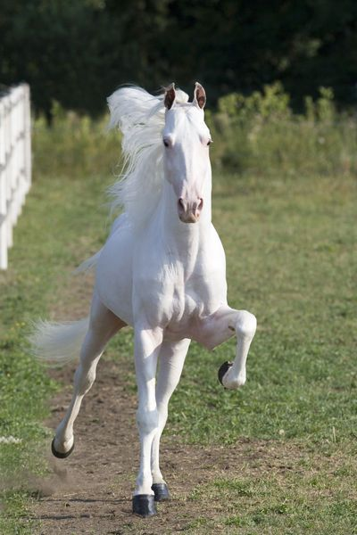 ..Tennesse Walker - Christiane Slawik..  I have never seen a white one before!