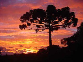 Araucária - Rio Grande do Sul