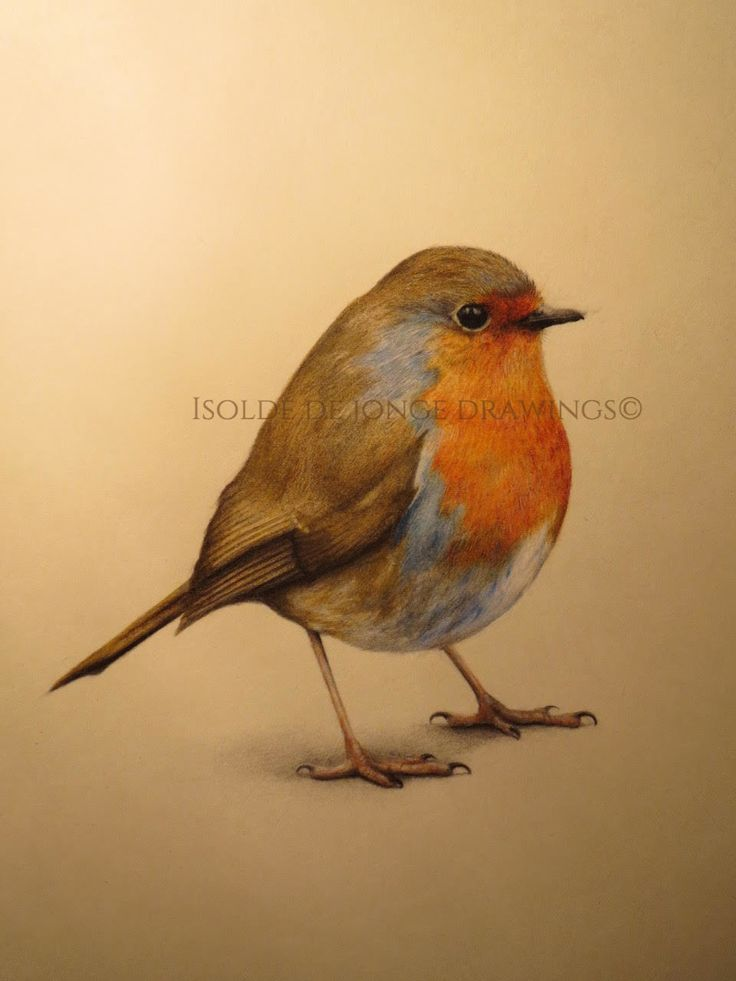"""Raudstrupe"" (Robin). Nov. 2017. Colour pencil and pencil on paper."