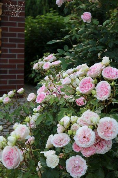 kurfuerstin sophie rose roses pinterest roses. Black Bedroom Furniture Sets. Home Design Ideas