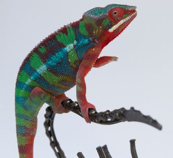 11 Different Types of Chameleons