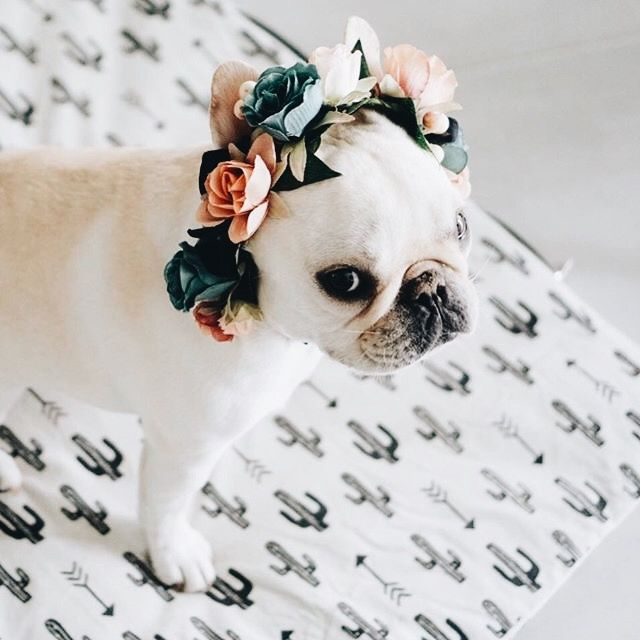 Polly The French Bulldog With A Spring Flower Tiara