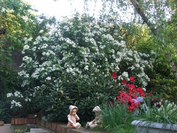 11 best plantes persistantes images on pinterest plants hedges and photinia red robin. Black Bedroom Furniture Sets. Home Design Ideas