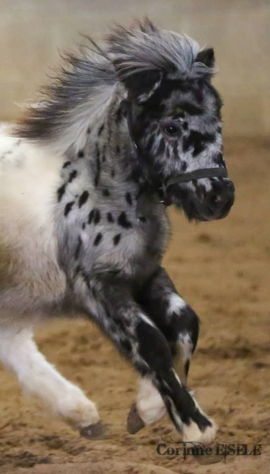 Best Miniature Horses Images On Pinterest Beautiful Cakes - Adorable miniature horses provide those in need with love and care