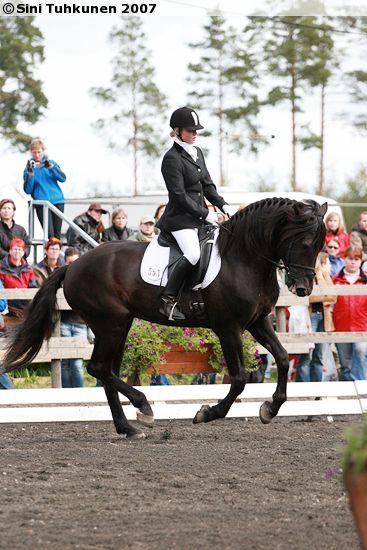 The black Finnhorse stallion Kuningas Ässä doing dressage