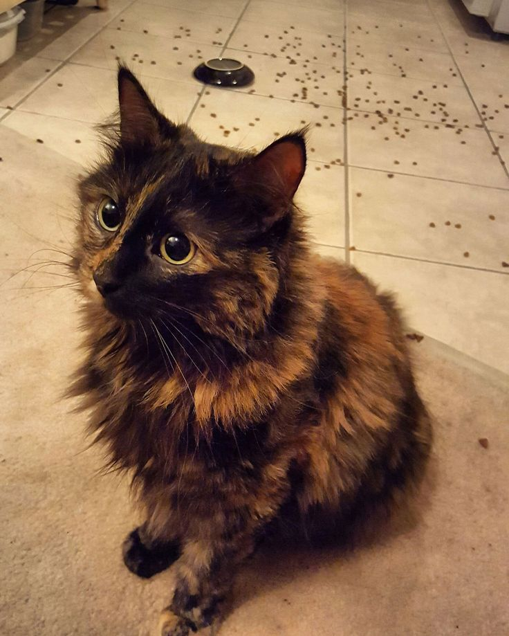 What a beautiful Tortoiseshell cat!