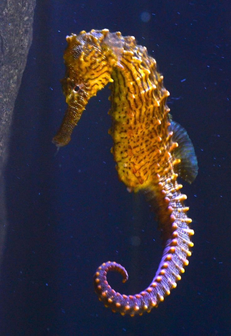 40 best seahorse aquaria images on pinterest seahorses for Is a seahorse a fish