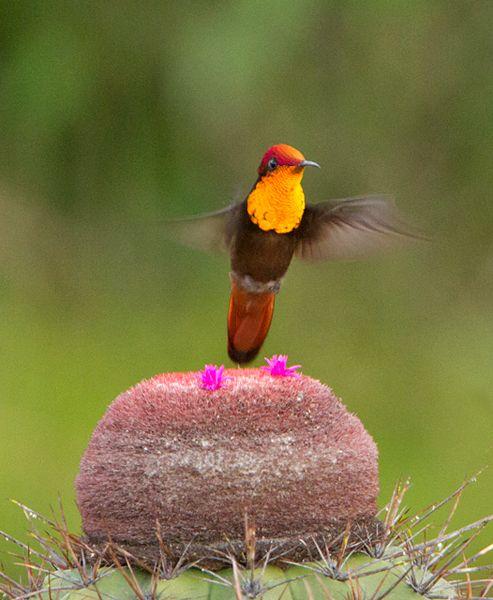 Foto beija-flor-vermelho (Chrysolampis mosquitus) por Ciro Albano | Wiki Aves - A Enciclopédia das Aves do Brasil
