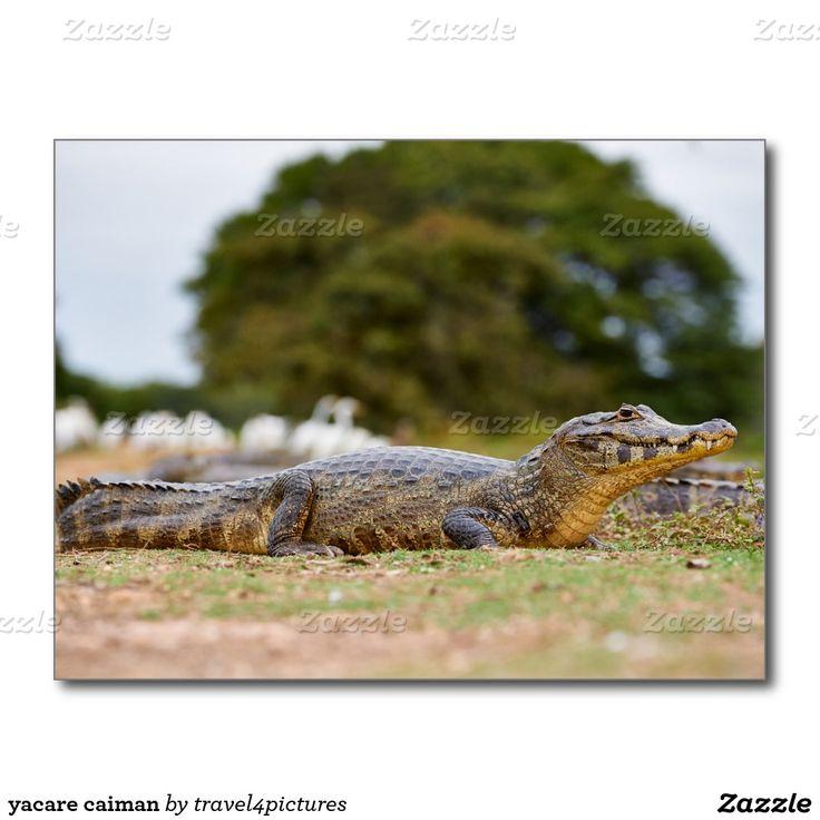 yacare caiman postcard