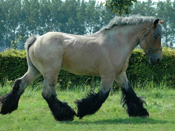 Brabant, Belgian Heavy Horse, stallion, Nico. photo: Ton van der Weede.