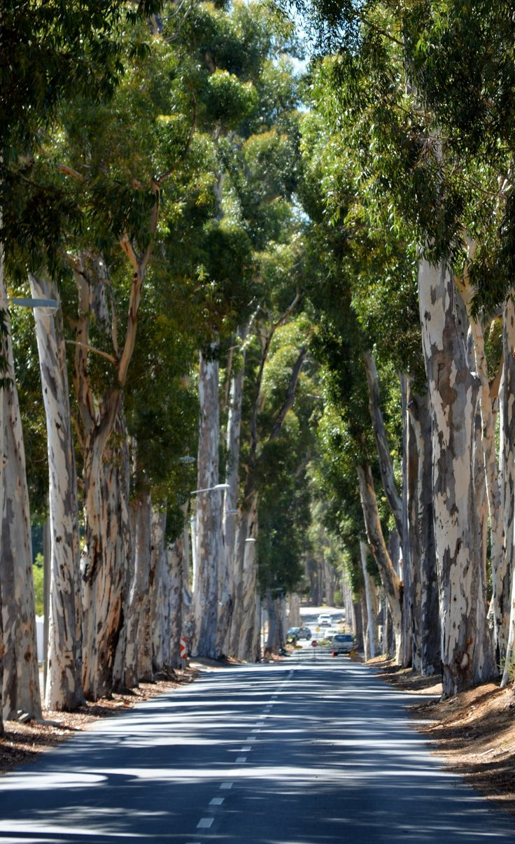 Tree lined Parel Vallei Road in Somerset West - Cape Town.