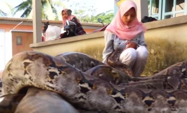 gadis cantik berjilbab bersama belasan ular piton