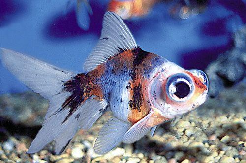TELESCOPE CALICO FANCY GOLDFISH (reg 2.5 INCH) | Reefs2go.com