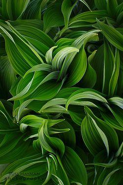 Hosta 'Summer Green'