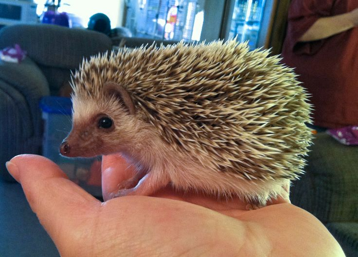 Henry is an African Pygmy Hedgehog. Color: Algerian Chocolate, minimal Pinto. He is 5 weeks in this picture.